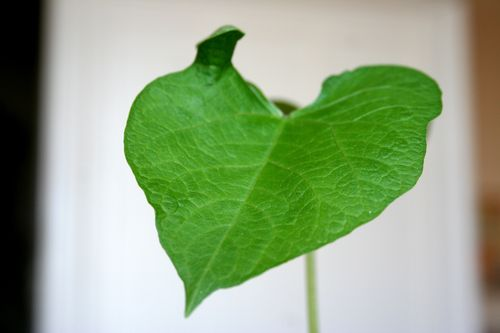 Happy valentine bean leaf