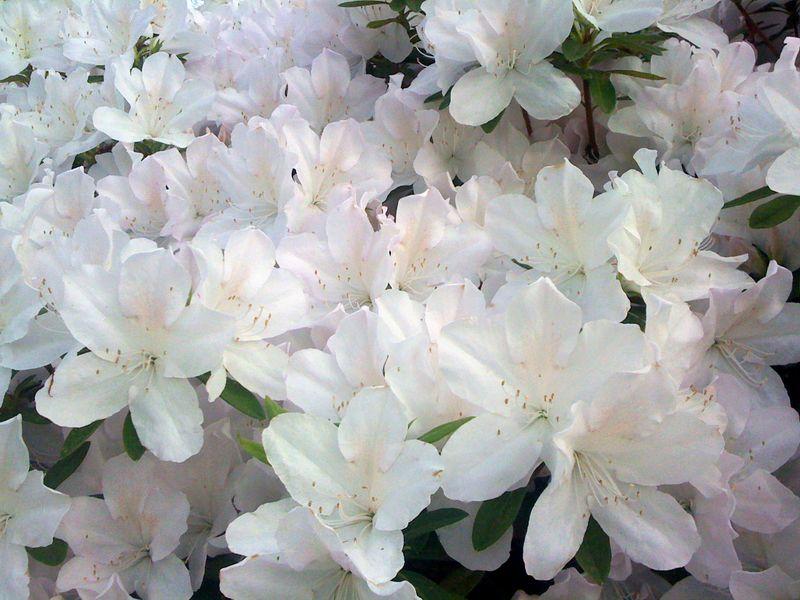 10 azaleas
