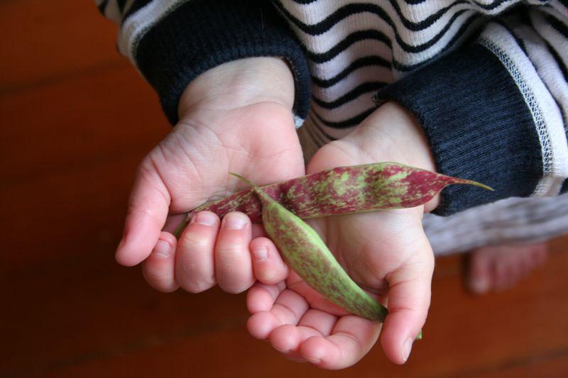 32 bean harvest